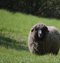 Deer Hollow Farm Sheep