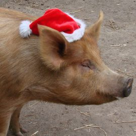 2014-pig-with-xmas-hat