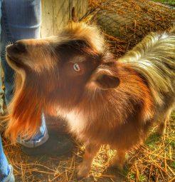 Nigerian Dwarf Goats at the Farm!