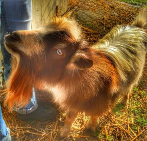Nigerian Dwarf Goats at the Farm!